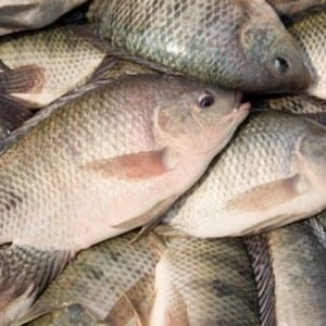 Tilapia Fillet (500g pack) *NEW*