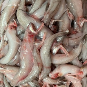 Bombay Duck or Lotey 30/45 Count